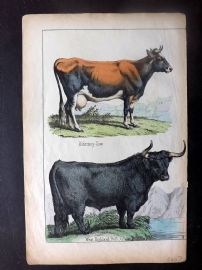 Adam White C1860 Hand Col Print. Alderney-Cow, West Highland Bull